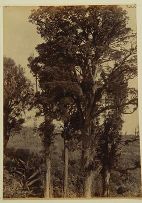 Frank Denton; New Zealand bush; Circa 1889-1963; 1994/12/1