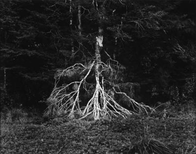 Fallen Branch, Lewis Pass