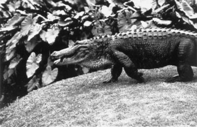 Alligator (taken at Gosford, N.S.W.)