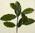 Untitled (Plant study)