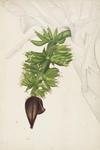 Musa Dacca (banana)