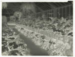 Black and white negative of Panorama of Winter Gardens (one of two) [this is the negative for 1996/11/13]
