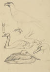 Untitled (Eagle, swan and pelican)