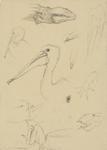 Untitled (Pelican and lizard studies)