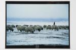 Young shepherd and flock, Gobi Altai plains, West Mongolia, 1992