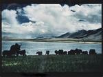 Yaks, Gar Valley, West Tibet, 1990