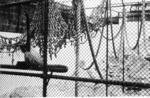 Zoo Music: Spider Monkeys, Auckland Zoo