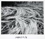 Reeds in Pond near Le Bugue, France '84
