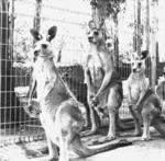Kangaroos, Pennant Hills, Sydney
